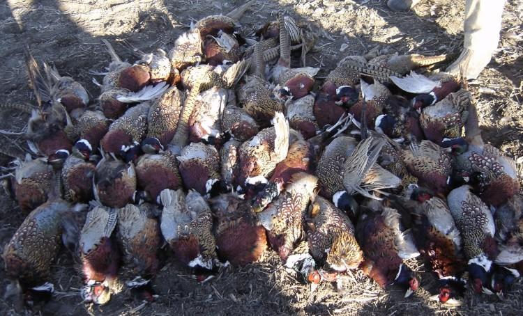 Limit of South Dakota Pheasants