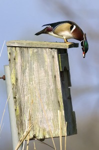 photo from: http://www.fws.gov/yazoo/images/WoodDuckMale.jpg