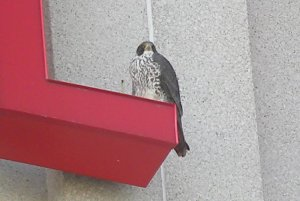 Male Falcon hunting pigeons on top of my office