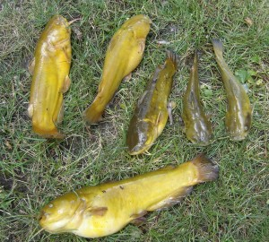 6 Bullhead Catfish