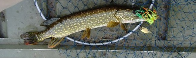 Northern Pike with a spinnerbait in its mouth