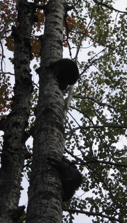 Two Raccoons Flushed Up a Tree