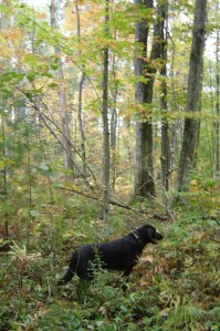 Black Lab hunting for grouse in Michigan