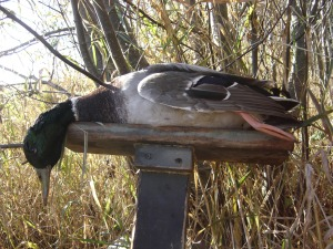 Early Season Drake Mallard