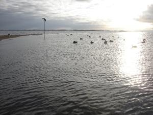 Mallard spread on the sandbar