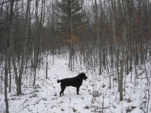 Zeus chasing grouse in the snow