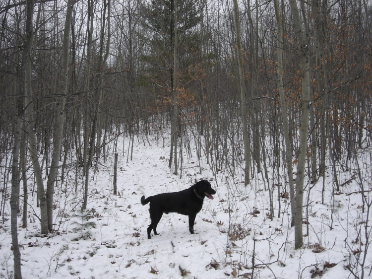 Labs Hunting Grouse Black Lab Chasing Grouse
