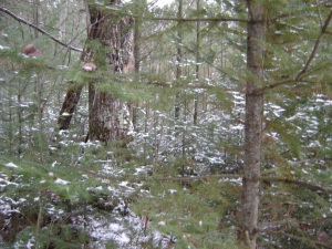 Snowy Pines Hold Grouse in December