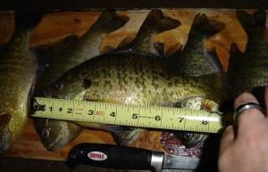 9 Inch Gill Caught through the ice