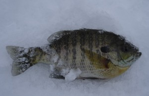Bluegill caught while ice fishing