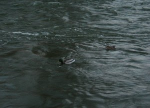 A Pair of Mallards swimming in a river