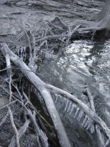 Ice clinging to tree roots and limbs