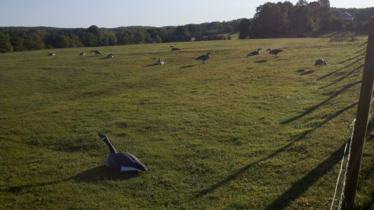 Photo of goose decoys in a field