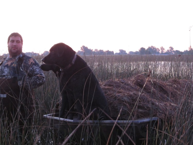 Hunting labs waiting for birds