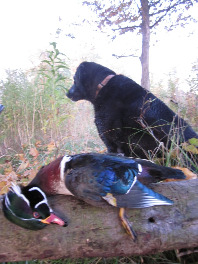Black lab with a wood duck in the foreground