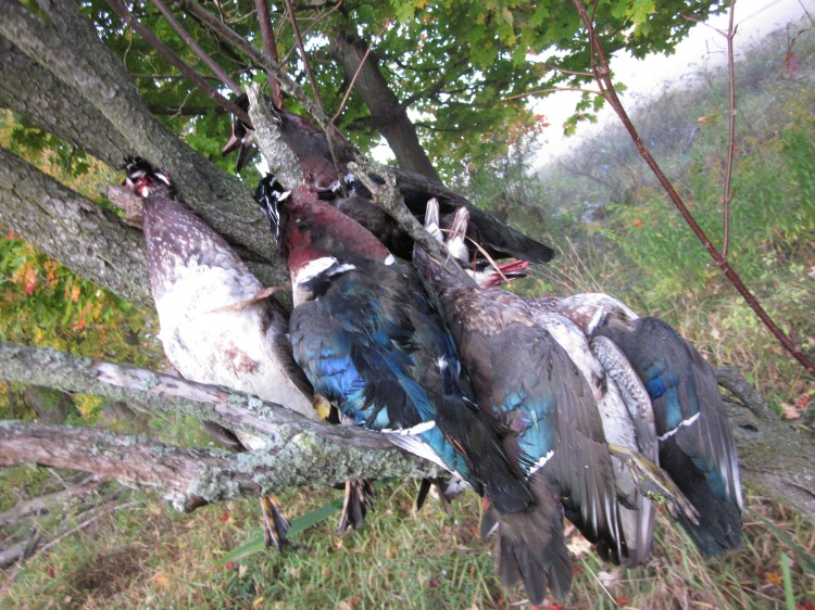 Dead wood ducks in a tree