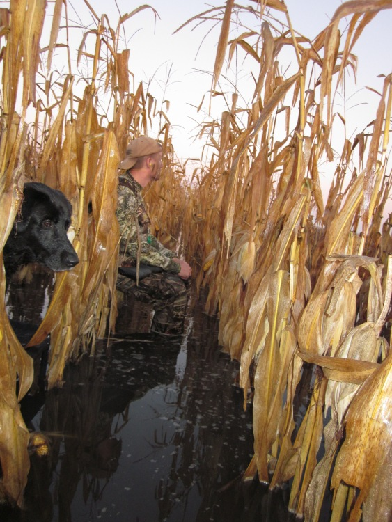 Duck hunter and black lab hiding in the corn