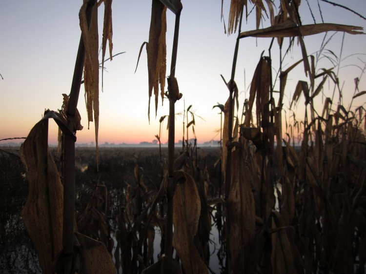 Duck hunting in flooded corn