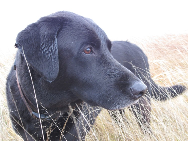 Black lab after the hunt