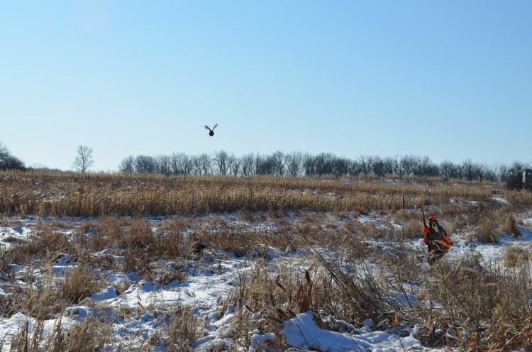 quail in flight