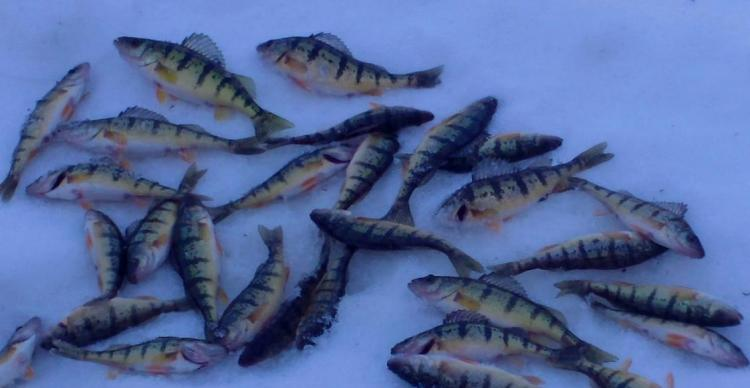 Pile Of Perch